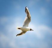 Black headed gull in flight Royalty Free Stock Photos