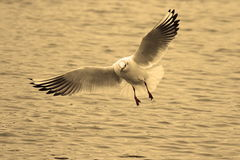 Black headed gull in flight Stock Photos