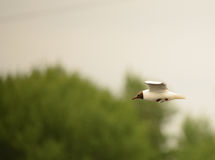 Black Headed Gull Stock Photos