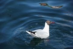 Black Headed Gull. A Black Headed Gull floating in the harbour of Stavanger, Norway royalty free stock image
