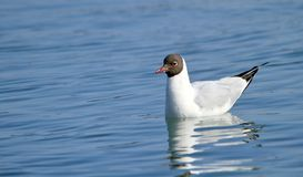 Black-headed gull on water Stock Photos