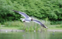 Black headed gull. Flying above lake surface.Stunning wildlife Uk.British nature.Animals Uk.Beautiful bird in flight, forest and lake in background.Natural royalty free stock photos