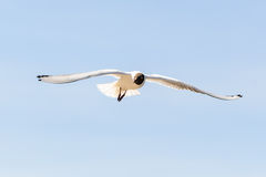 Black headed Gull. Flying in the air Stock Photography