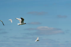 Black-headed gull flying in the air Stock Images
