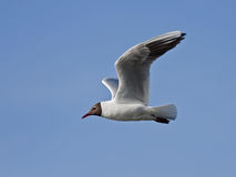 Black-headed gull flying on the blue sky Stock Photos