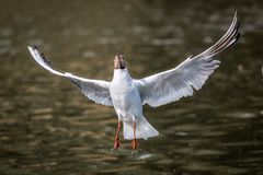 Black headed gull flying chroicocephalus ridibundus stock photos