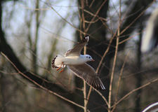 Black-headed gull flying royalty free stock image