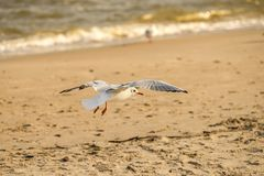 Black headed gull flying deep over the Baltic sea Royalty Free Stock Photos