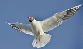 A Black headed Gull on flying.(Larus ridibundus) Royalty Free Stock Images