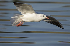 Black-Headed Gull Flying Royalty Free Stock Photos