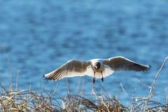 Black-headed gull flying Stock Photos
