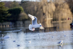 Black Headed Gull flying over flooded river Thames. Close up of a black headed gull flying over river Thames in flood Stock Photo