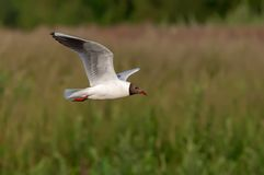 Black-headed gull in flight over a riverbank in the morning royalty free stock photos