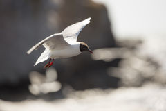 Black-headed gull Flying over Water. By cliffs Royalty Free Stock Images