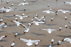 A Black headed Gull  flying Royalty Free Stock Image