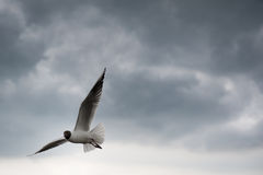 Black-headed gull flying with spreaded wings with Stock Images