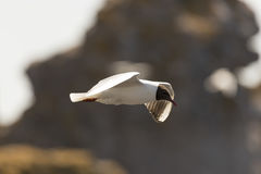 Black-headed gull Flying Stock Images