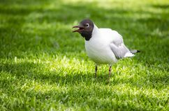 Black headed gull  on grass. A little black headed gull walking on the grass in the garden in a nice, sunny day royalty free stock photography