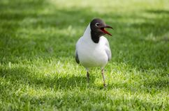 Black headed gull  on grass. A little black headed gull walking on the grass in the garden in a nice, sunny day royalty free stock photo