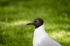 Black headed gull  on grass stock photography