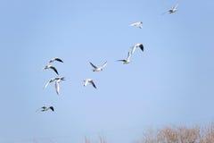 Black Headed Gull stock images