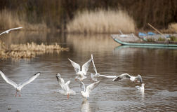 The black-headed gull Royalty Free Stock Images