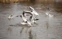 The black-headed gull Royalty Free Stock Photos