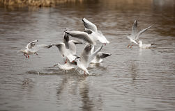 The black-headed gull Royalty Free Stock Photos