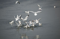 Black-headed gull Royalty Free Stock Photography