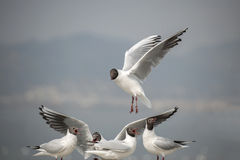 Black-headed gull Royalty Free Stock Photo