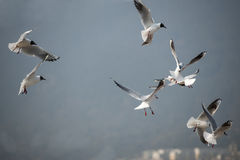 The black-headed gull Stock Photos