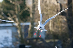 Black headed gull Royalty Free Stock Photography
