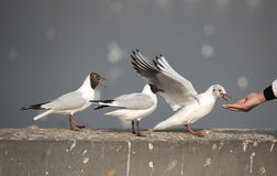 The black-headed gull Royalty Free Stock Image