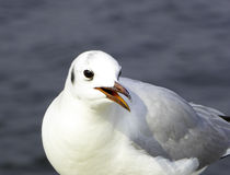 A Black-headed Gull Royalty Free Stock Images