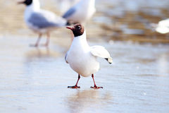 Black-headed Gull on the ice, Royalty Free Stock Images