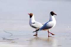 Black-headed Gull on the ice Stock Photography