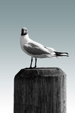 Black-headed Gull isolated Royalty Free Stock Photo