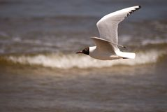 Black-headed gull, Jurmala, Latvia Royalty Free Stock Photo