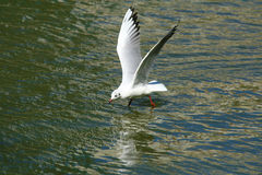 Black-headed Gull in Kunming, China Royalty Free Stock Photo