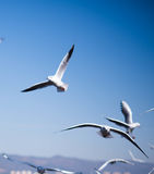 The Black Headed Gull in kunming,China Stock Images