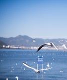 The Black Headed Gull in kunming,China Royalty Free Stock Photos
