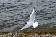Black headed-gull Stock Photo