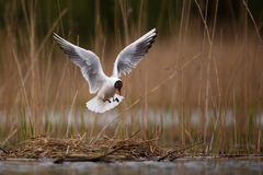 Black headed gull landing Stock Image