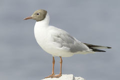 Black-headed Gull  / Larus ( Chroicocephalus) ridibundus Stock Images