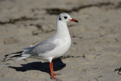 Black-headed Gull (Larus ridibundus) Stock Photo