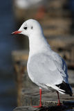 Black-headed Gull (Larus ridibundus) Royalty Free Stock Images