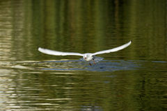 Black-headed Gull (Larus ridibundus). Flying Black-headed Gull (Larus ridibundus) among water surface royalty free stock photos