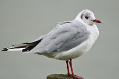 Black-Headed Gull - Larus ridibundus Stock Photo