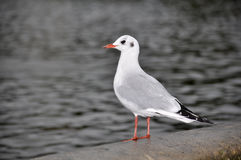 Black Headed Gull, Larus Ridibundus Royalty Free Stock Images