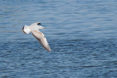 Black-headed Gull, Larus ridibundus Royalty Free Stock Images